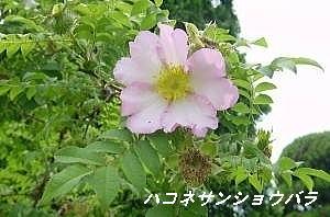 ハコネサンショウバラ