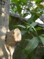 切り落とした枝の跡