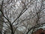 数寄屋橋交差点の桜