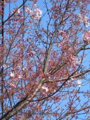 散った桜の木