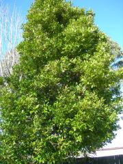 2番目に高い木