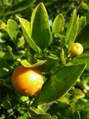 オレンジの実1