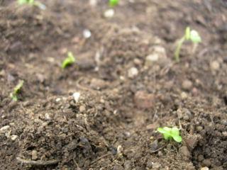 ブロッコリスプラウト植えたアップ