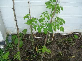 前庭トマト