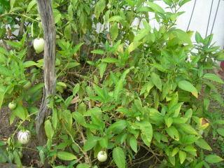 ペピーノの木全体の写真