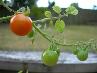 トマト第一号