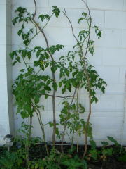 表庭のトマト全体身長超え