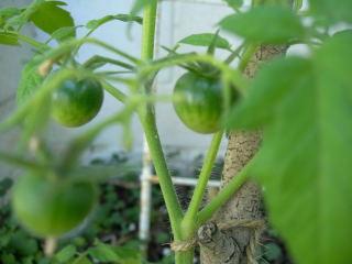 水耕栽培のトマトの実