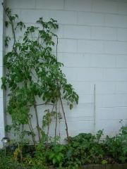 前庭トマト背丈より高く手が届かない