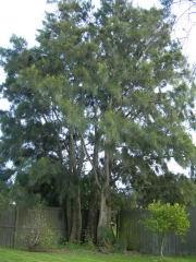 杉の木!?