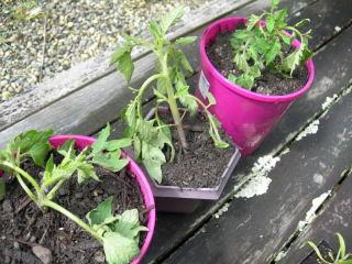 トマト植え替え失敗か