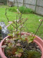 今年のブルーベリー新葉がたくさんでてきた
