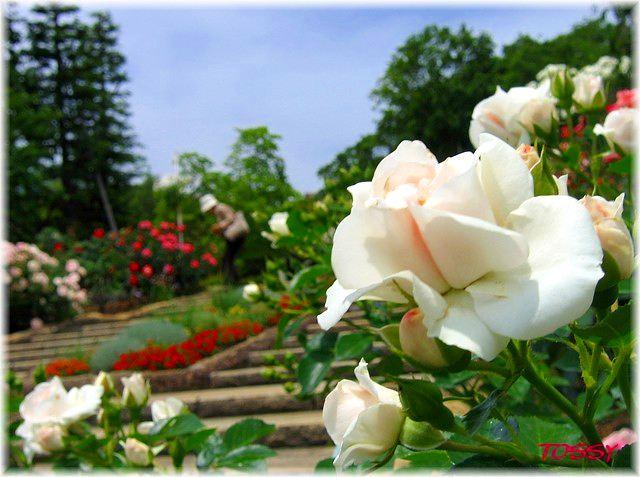 北山のバラ