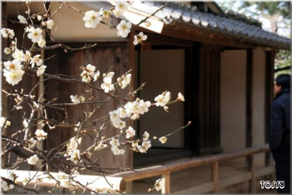 松下村塾の梅