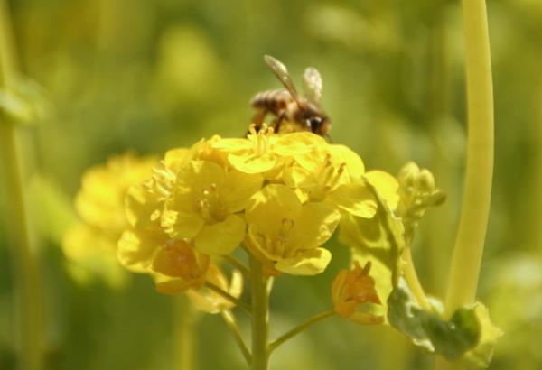 菜の花とミツバチ2