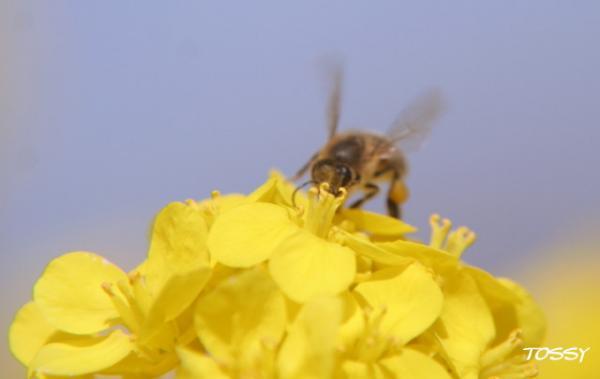 菜の花とミツバチ1