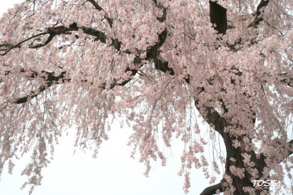 円山公園のシダレサクラ1