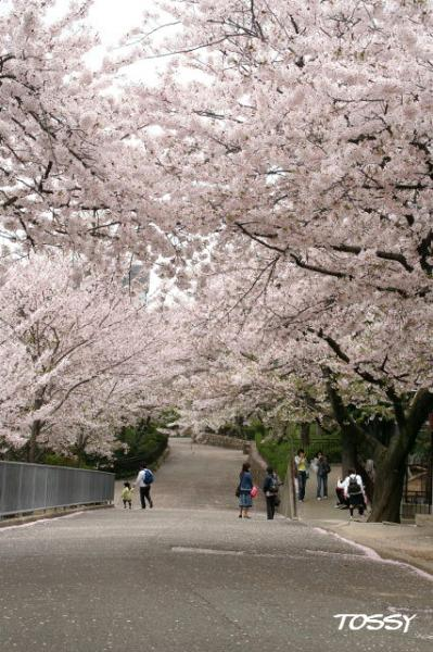 園内の桜3