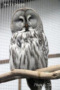 樺太フクロウ