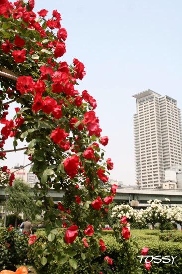 赤いつるバラ