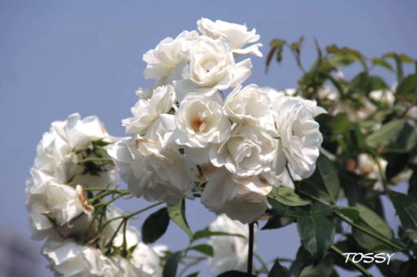 白バラ スタンダード