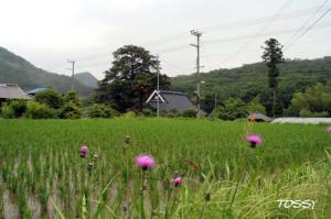 田圃とアザミ