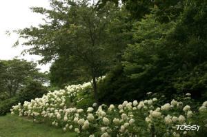 アナベルの咲く園路