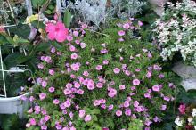八幡の花1