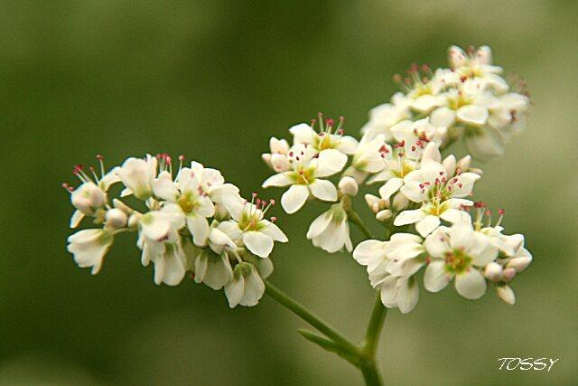 画像5 ソバの花