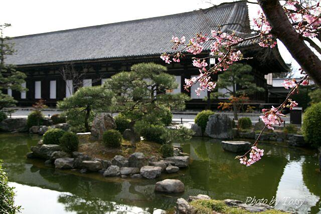 本堂と彼岸桜