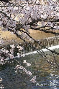 夙川4 川面の桜1