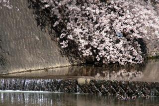 夙川7 川面の桜2