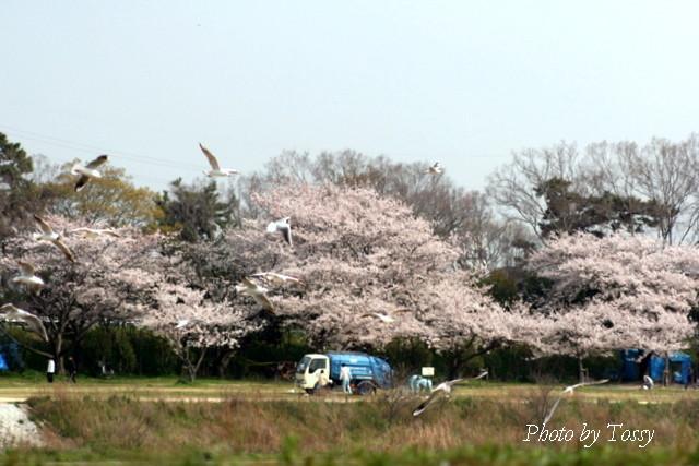 翌日の桜堤