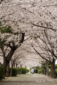 桜のトンネル 2