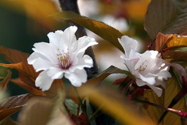夙川舞桜 西宮固有の桜です