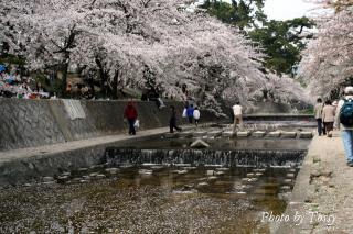 夙川8 桜満開