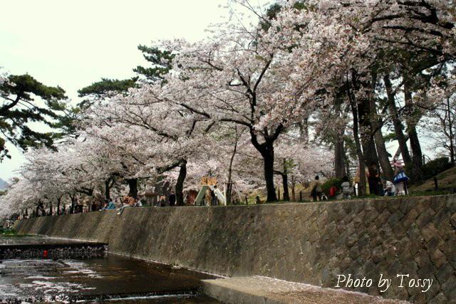 夙川10 桜並木と児童公園