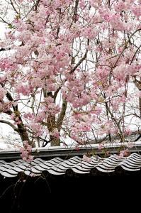 屋根とシダレサクラ2
