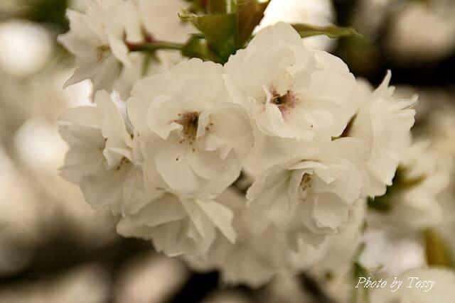 半八重の桜白