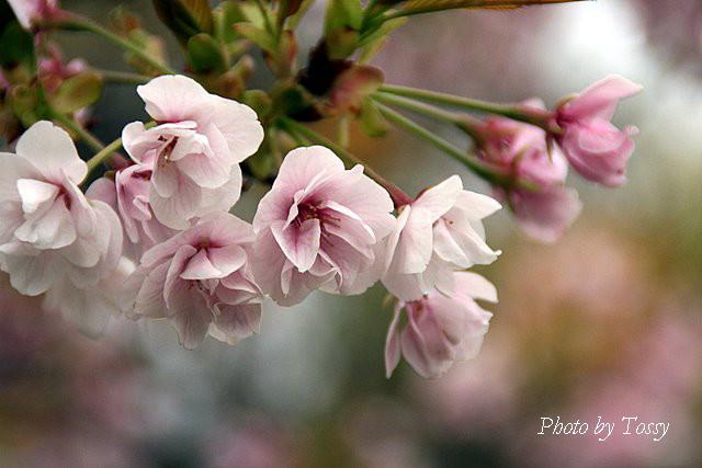 半八重の桜うすいピンク