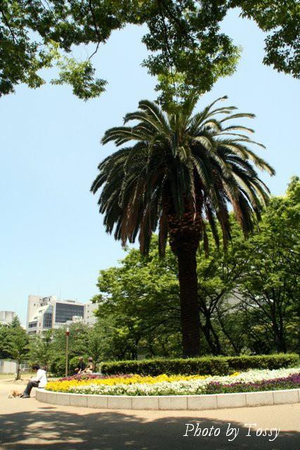 大きな棕櫚