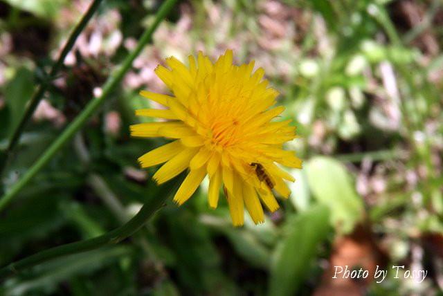 ブタナ 花1