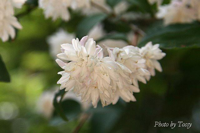 サラサウツギ ユキノシタ科
