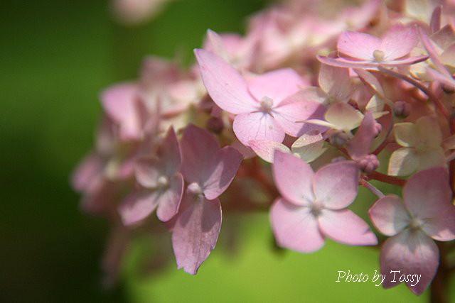 テマリ咲きアジサイ1