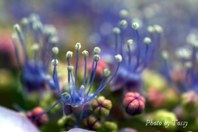 ガクアジサイの両性花