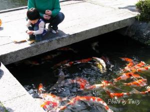 鯉に餌をやる子供