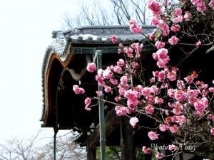 円照寺 本堂と梅