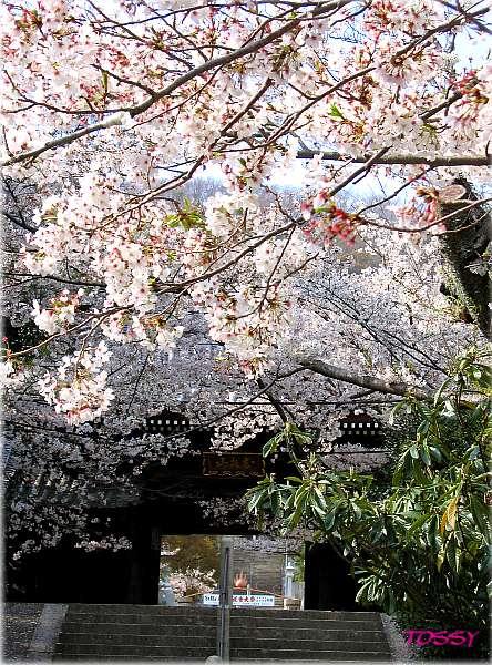満開の桜と仁王門 2005