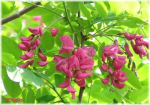 ニセアカシア赤花