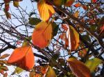 191114_陽に透ける桜葉4
